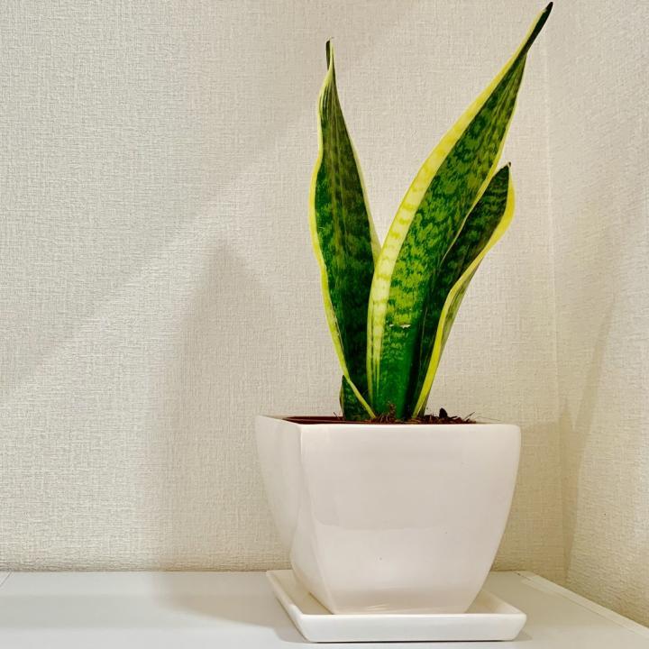 エコプラント、観葉植物の効果って知ってる?花言葉と一緒に紹介&グリーンネイルに注意