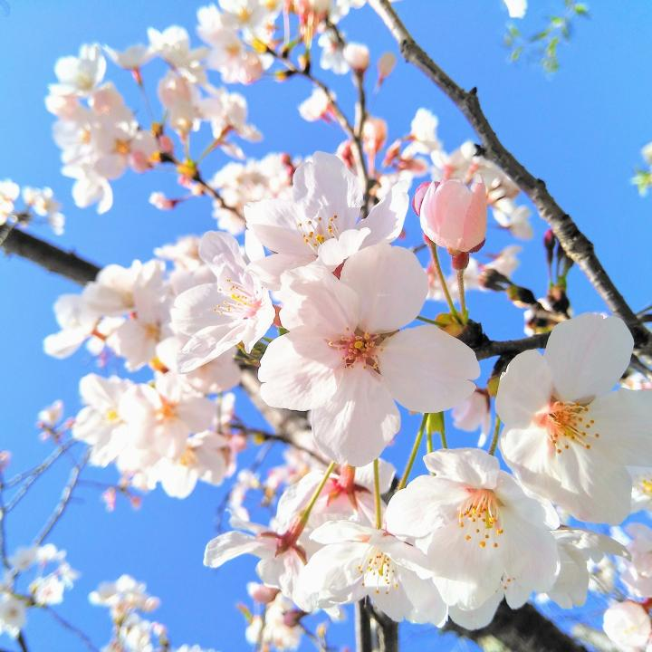 桜ネイルのセルフでのやり方!かわいいデザインと2020年の桜の開花はいつ頃になるかも紹介