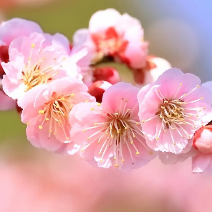 桜と梅と桃の違いは?五枚花のバランスが難しい!ネイルで上手に書くコツは??