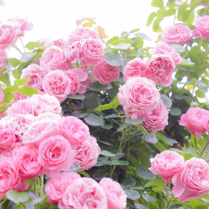ローズピンクのネイルをプチプラで!大人可愛い&ローズヒップ効果でシミなしの美白肌に!
